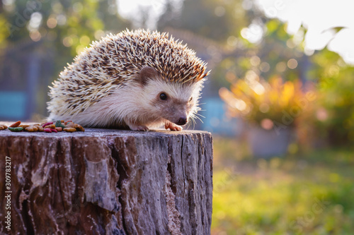 Fotografia Asian hedgehog with the soft light of the young sun in the morning