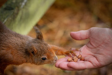 Red Squirrel Reaching Out And Feeding On Nuts