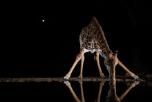 Giraffe Drinking From A Pool A...