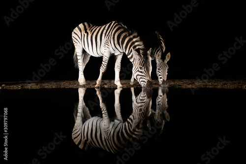 Fototapeta Two zebras drinking from a pool in the night obraz