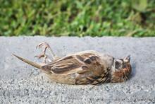 A Dead Sparrow Lies On The Sid...