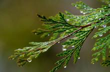 Incense Cedar (calocedrus Decurrens) After A Winter Rain