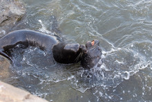 A Couple Of Sea Lions Fighting In The Sea