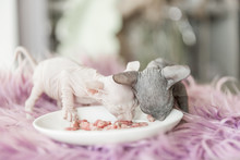 White And Gray One Month Old Don Sphinx Cats Eating Meat From White Plate On Lilac Fur Background