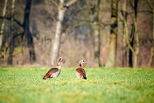 Two Egyptian Goose Sitting In ...