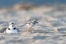 A Hatchling Piping Plover And Its Mother On The Beach.