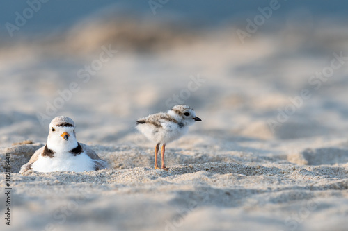 Fényképezés A hatchling Piping Plover and its mother on the beach.