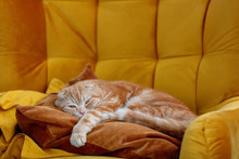 Ginger Scottish Fold Cat In A ...