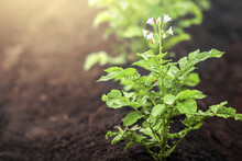 Green Fresh Background, Flowering Potato Bushes On Garden Beds In The Vegetable Field Illuminated By The Rays Of The Sun. Garden With The Beds Of Vegetables.