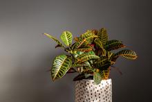 Wide Shot Of Croton Plant Agai...