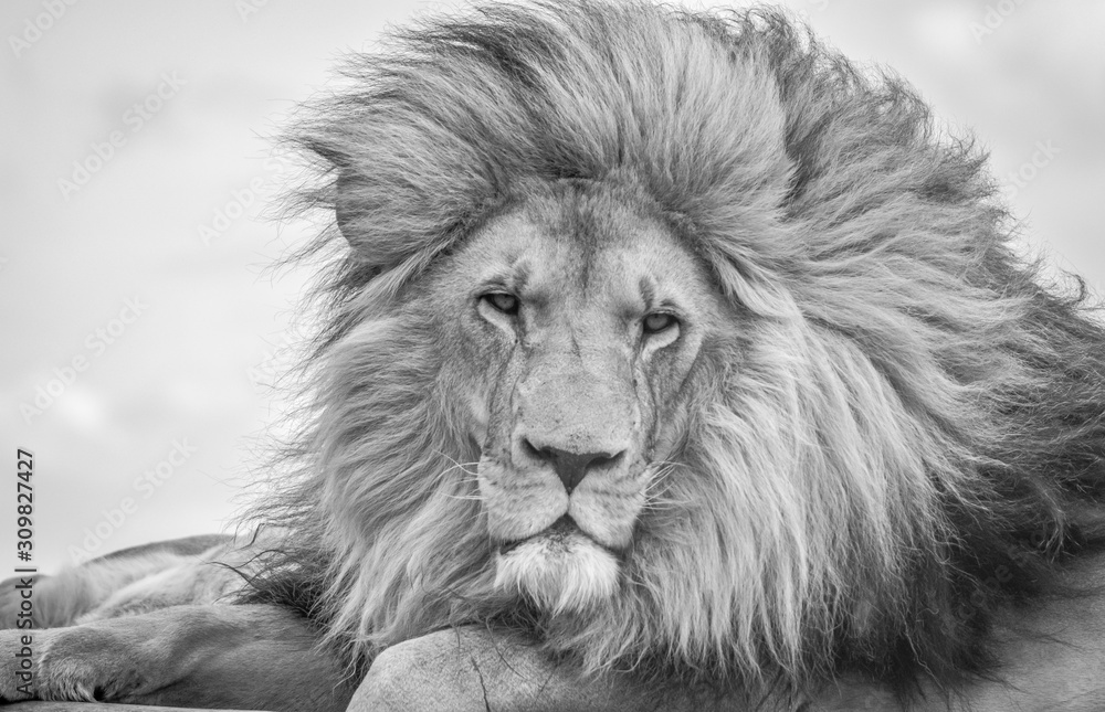 Fototapeta Closeup of a majestic young brown lion during a South African Safari