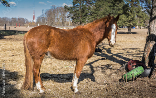 One bay horse stands with his head turned towards the photographer Canvas-taulu