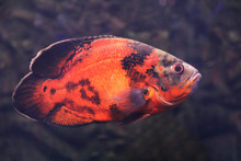 Bright Oscar Fish Swimming In Clear Aquarium, Closeup