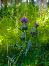 Purple Thistle Flower Grown In The Forest.