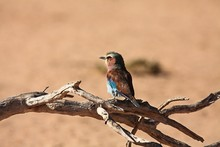 The Flying Lilac-breasted Roller (Coracias Caudatus) Vsitting On The Old Dry Branch In Kalahari Desert.