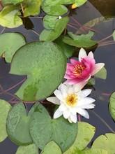 Flor De Loto China