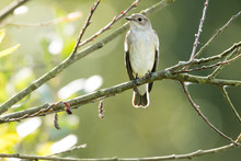 A Flycatcher Watching From A T...