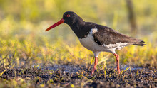 Pied Oystercatcher Walking Wit...