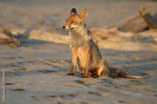 volpe sulla spiaggia Canvas Print