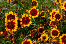 Coreopsis Flowers On A Summer'...