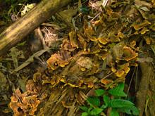 Bracket Fungus On A Fallen Tre...