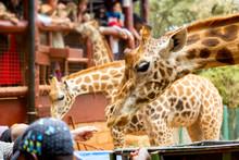 People Feeding Giraffes In Gir...