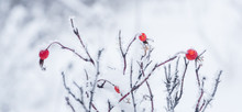 Red Rose Hips In Snowscape