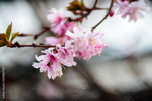 Tender branch of blooming sakura Canvas Print