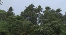 Palm Trees Sway In Wind As Hur...