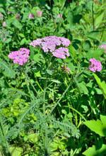 Herb Milfoil (Achillea Asiatic...