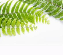 Boston Fern Leaf Isolated On White Background