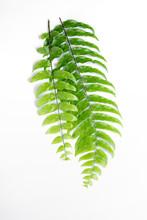 Boston Fern Leaf Isolated On W...