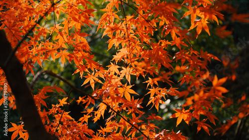 日本の秋 紅葉風景 Wallpaper Mural