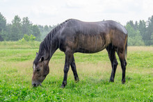 Brown Horse Grazing In The Rain In A Forest Clearing On A Summer Day