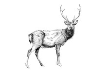 Hand Drawn Deer, Sketch Graphi...