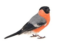 Eurasian Bullfinch, Male, Pyrrhula Pyrrhula Isolated On White Background