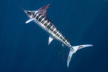 Striped Marlin マカジキ Me...