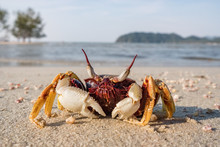 Crab On The Tropical Beach Clo...