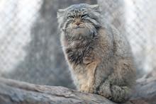 The Pallas's Cat (Otocolobus M...