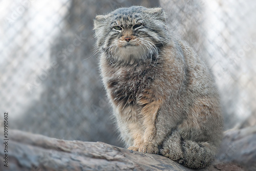 The Pallas's cat (Otocolobus manul), also called manul, is a small wild cat with a broad but fragmented distribution in the grasslands and montane steppes of Central Asia Wallpaper Mural