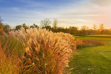 Thickets Of Decorative Reeds O...