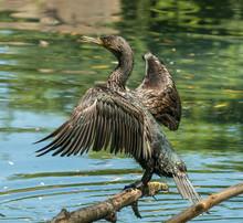 Black Cormorant Bird On A Log ...