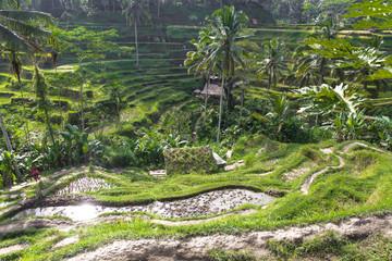 Tegalalang Reisfelder auf Bali