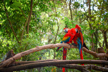 Couple Of Scarlet Macaw Standi...