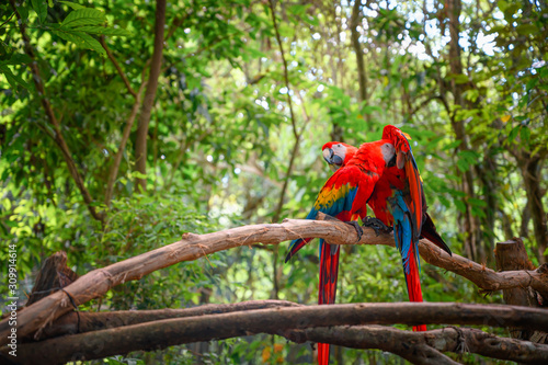Couple of scarlet macaw standing on a branch in the middle of the jungle Canvas Print