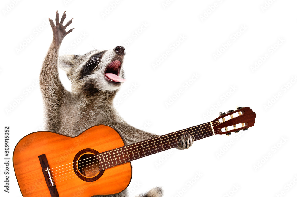 Portrait of funny singing raccoon with acoustic guitar isolated on white background
