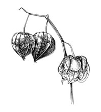 Hand Drawn Physalis Plant Isol...