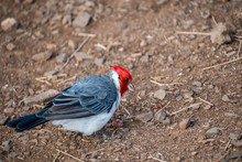 A Red Crested Cardinal In Maui...