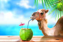 Camel In A Tropical Beach Isla...
