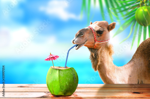 Photo Camel in a tropical beach island drinking coconut juice.